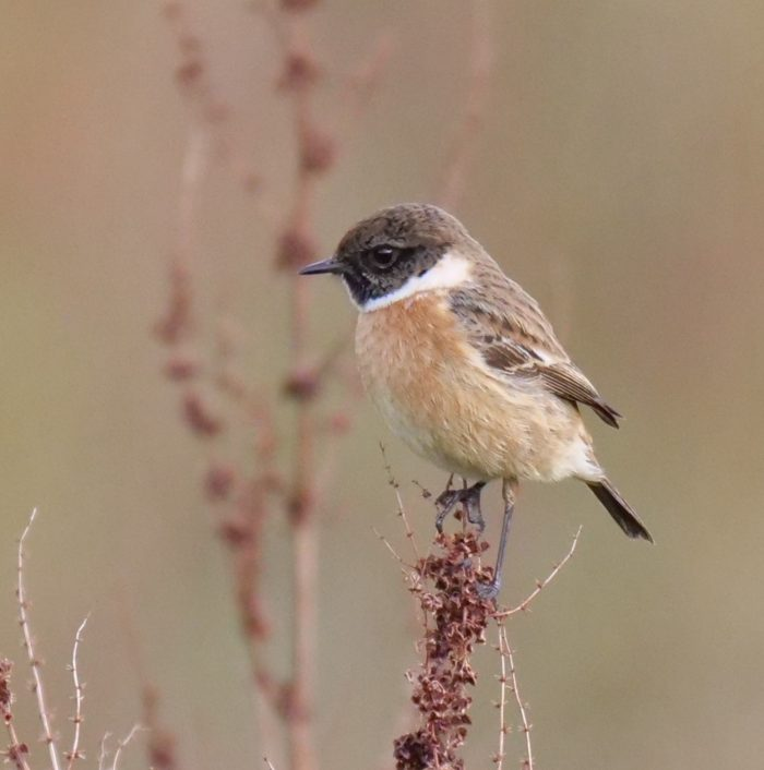 Stonechat by Rob Porter-Feb 1st, Moorcourt Farm, Hillstreet