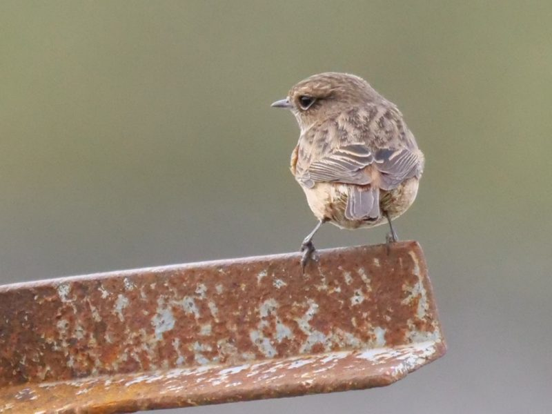Stonechat by Rob Porter - Feb 21st, Toyd Down