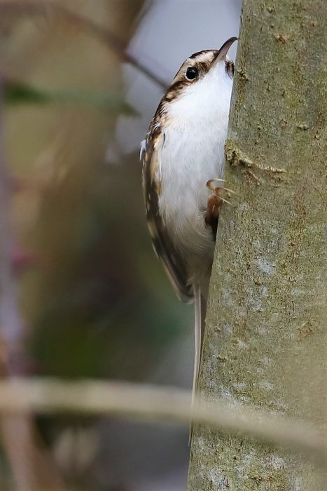 Treecreeper by Brian Cartwright - Feb 14th, Anton Lake