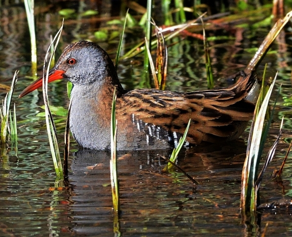 Water Rail by Dave Levy - Jan 29th, Stockbridge Marsh