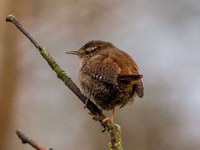 Wren by Mike Duffy - Feb 6th, Blashford Lakes
