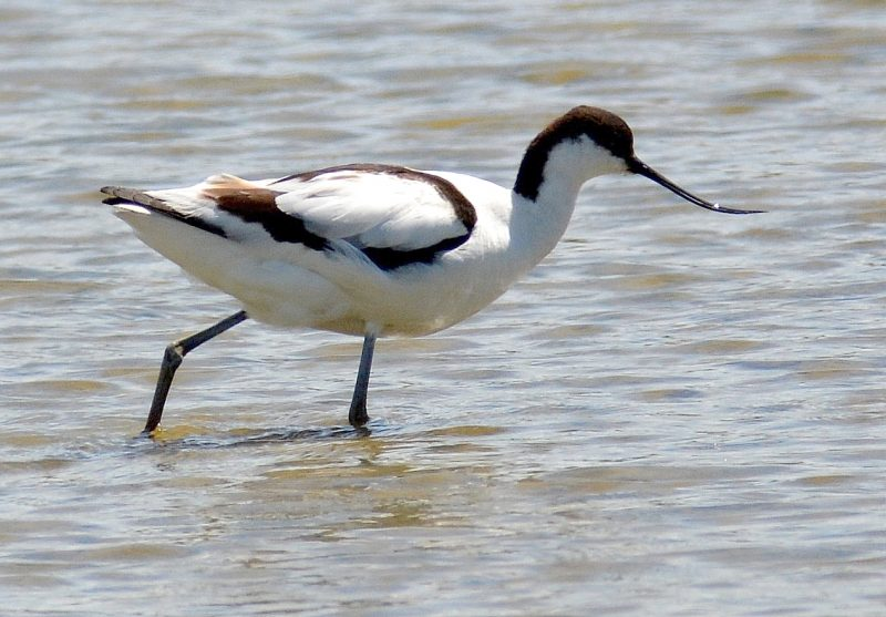 Avocet by Dave Levy - Mar 16th, Titchfield Haven