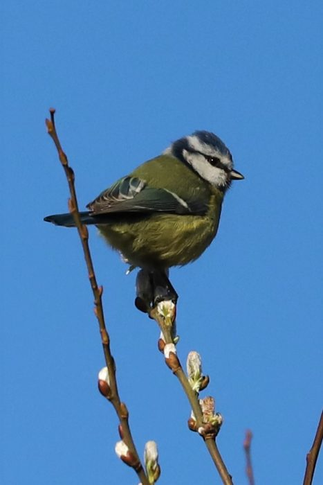 Blue Tit by Brian Cartwright - Feb 20th, Anton Lakes