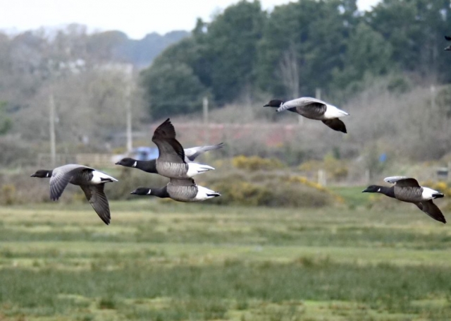 Brent Goose by Rob Porter-Mar 15th, Oxey Marsh
