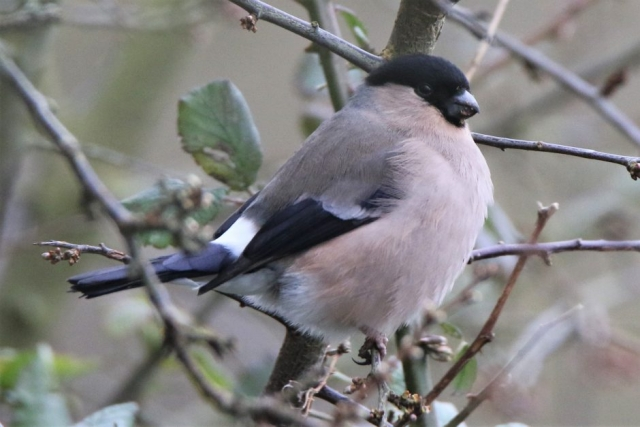 Bullfinch by Andy Tew - Mar 8th, Fishlake Meadows
