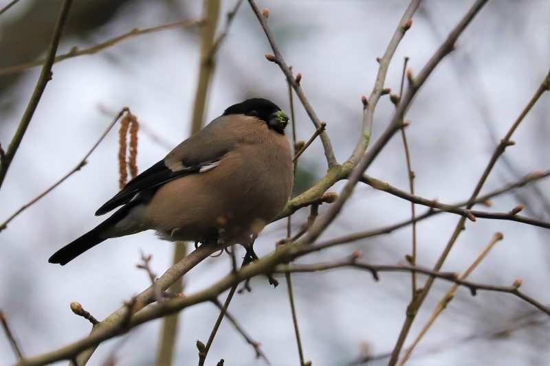 Bullfinch by Brian Cartwright - Mar 18th, Anton Lakes