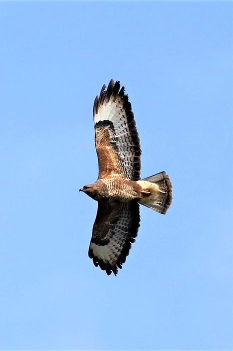 Buzzard by Brian Cartwright - Mar 13th, Anton Lakes