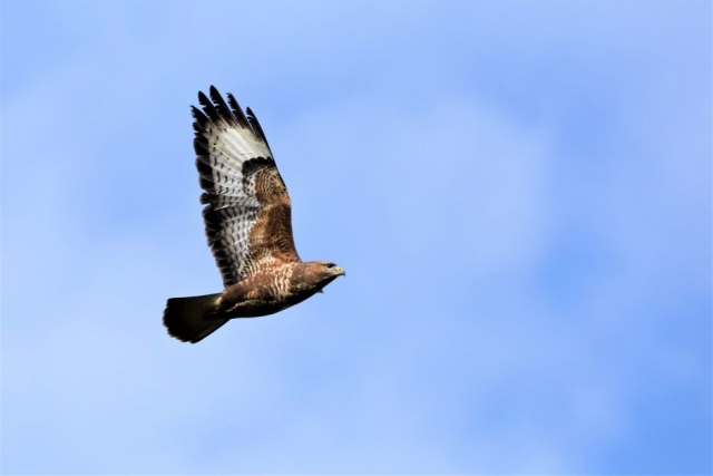 Buzzard by Brian Cartwright - Mar 20th, Anton Lakes