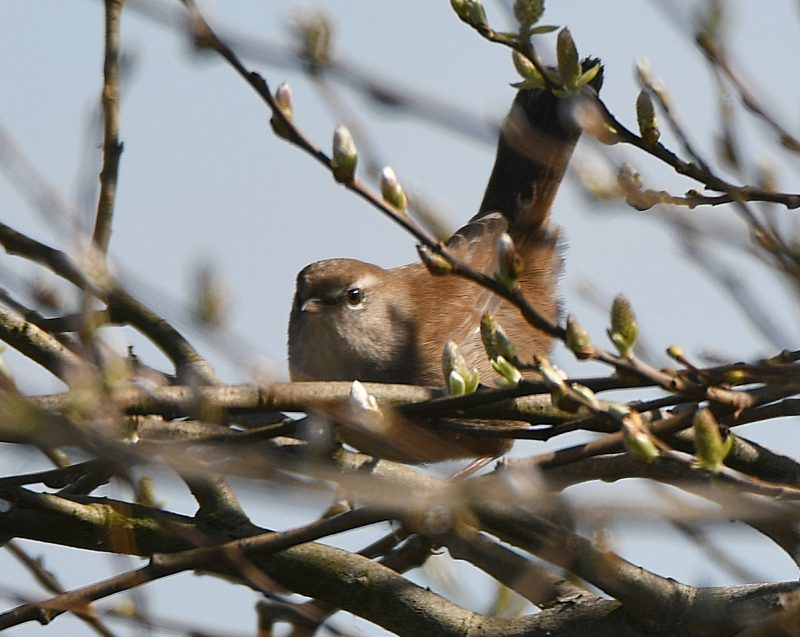 Cettis Warbler by Dave Levy - Mar 16th, Titchfield Haven