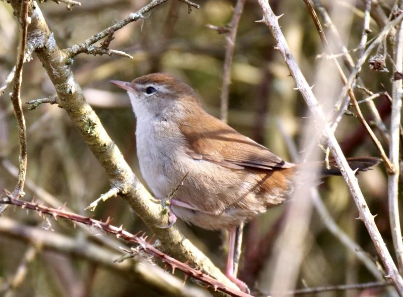 Cetti's Warbler by Rob Porter - March 6th, Fishlake Meadows