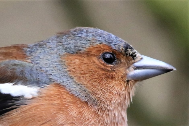 Chaffinch by Andy Tew - Mar 9th, Blashford Lakes