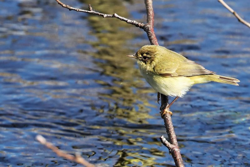 Chiffchaff by Brian Cartwright - Mar 16th, Anton Lakes