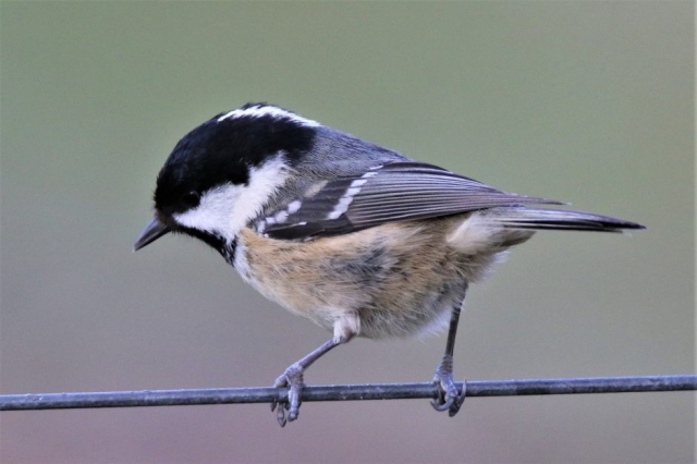 Coal Tit by Andy Tew - Mar 13th, Denny Wood NF