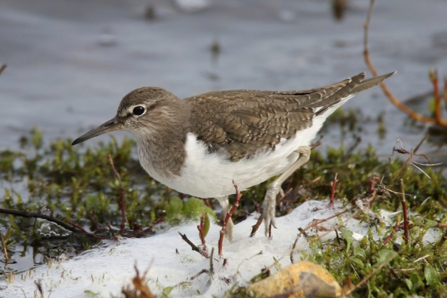 Common Sandpiper by Andy Tew - Mar 9th, Blashford Lakes