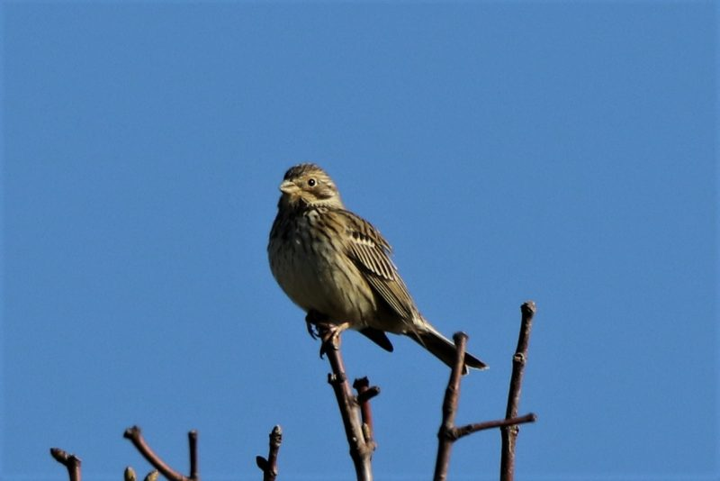 Corn Bunting by Andy Tew - Mar 16th, Toyd Down