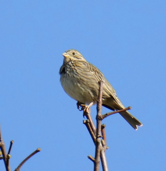 Corn Bunting by Rob Porter-Mar 16th, Toyd Down