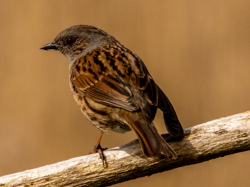 Dunnock by Mike Duffy - Mar 13th, Fishlake Meadows