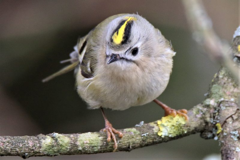Goldcrest by Andy Tew - Mar 12th, Fishlake Meadows