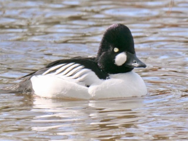 Goldeneye by Rob Porter-Feb 26th, Blashford Lakes
