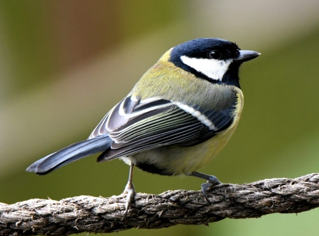 Great Tit by Dave Levy - Feb 26th, The Vyne
