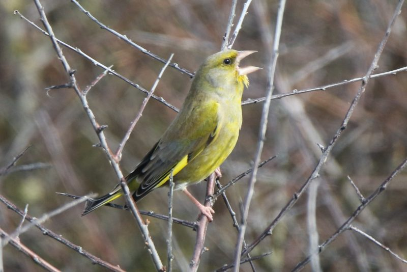 Greenfinch by Andy Tew - Mar 6th, Titchfield Haven