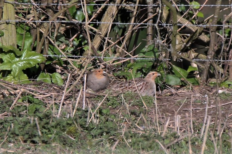 Grey Partridge by Andy Tew - Mar 16th, Toyd Down