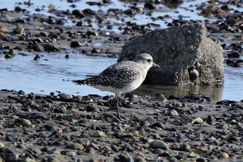 Grey Plover by Andy Tew - Mar 3rd, Pennington Marshes