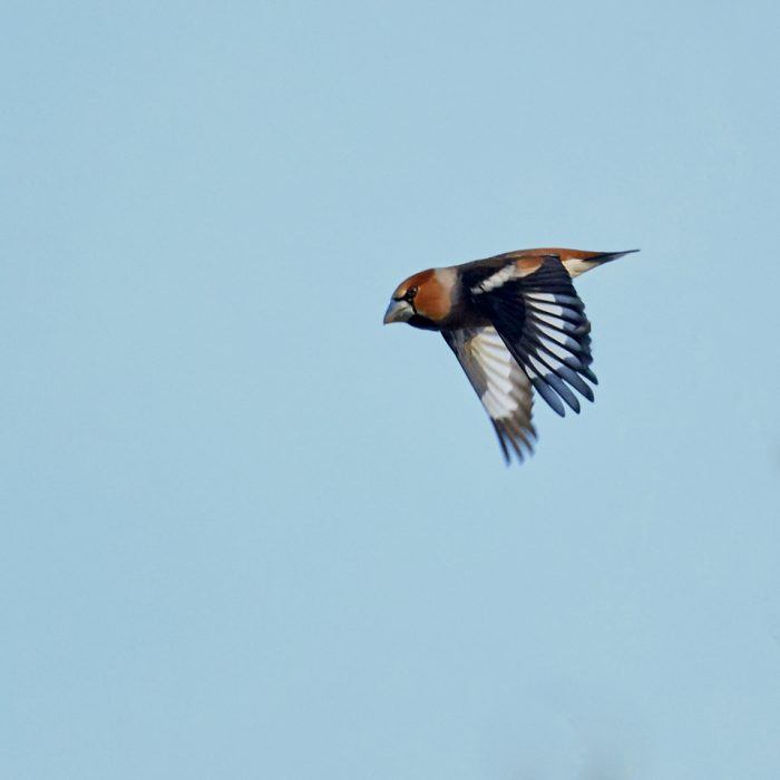 Hawfinch by Martin Bennett - Feb 19th, New Forest