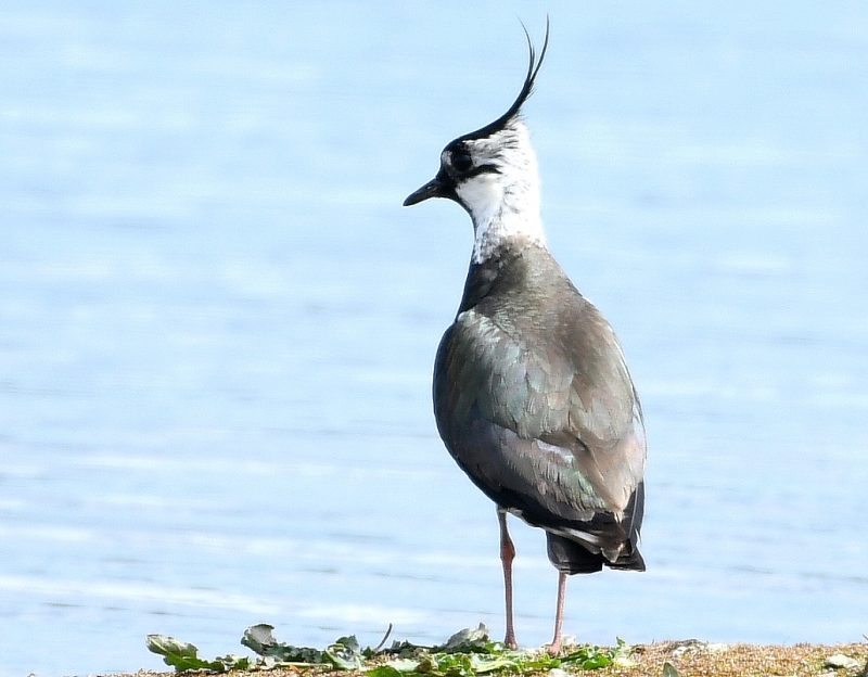 Lapwing by Dave Levy - Mar 16th, Titchfield Haven