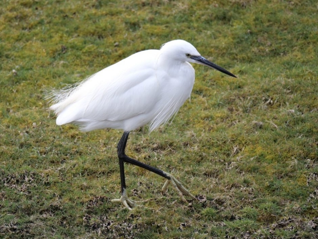 Little Egret by Rob Porter-Mar 13th, Oxey Marsh