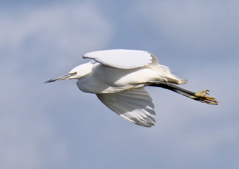 Little Egret by Rob Porter-March 2nd, Oxey Marsh