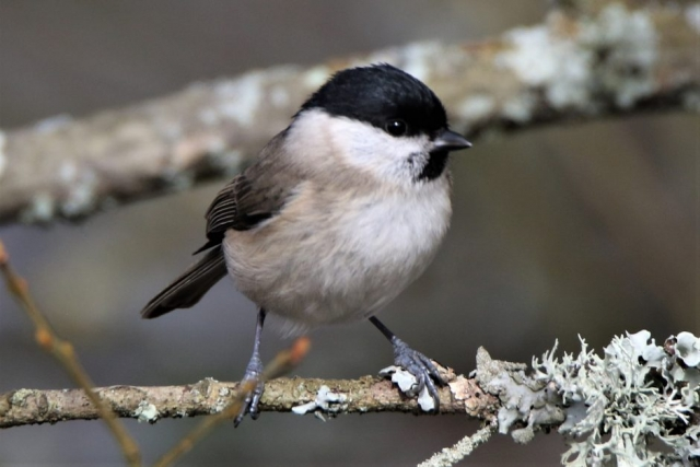 Marsh Tit by Andy Tew - Mar 13th, Denny Wood NF