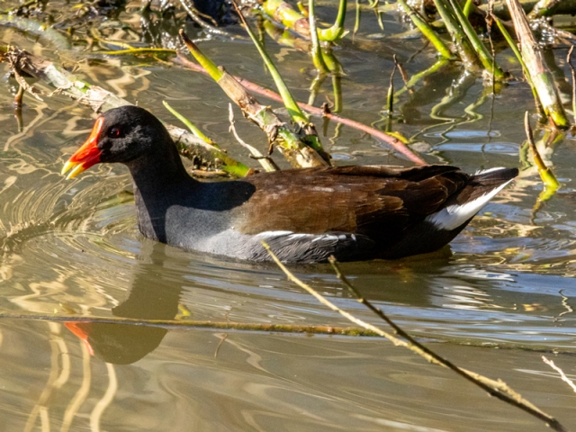Moorhen by Mike Duffy - Mar 16th, Fleet Pond