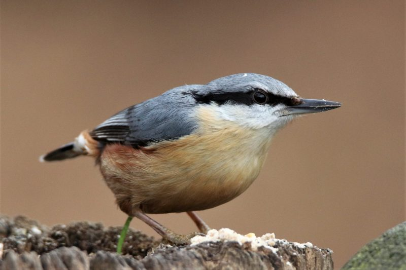 Nuthatch by Andy Tew - Mar 13th, Denny Wood NF