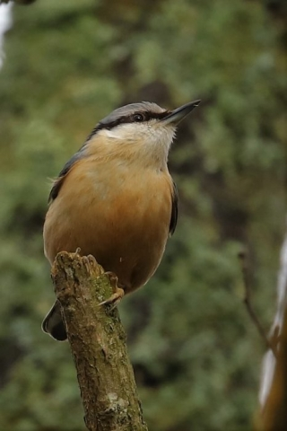 Nuthatch by Brian Cartwright - Feb 27th, Anton Lakes