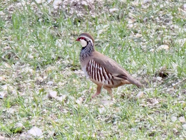 Red-Legged Partridge by Rob Porter-Mar 16th, Toyd Down