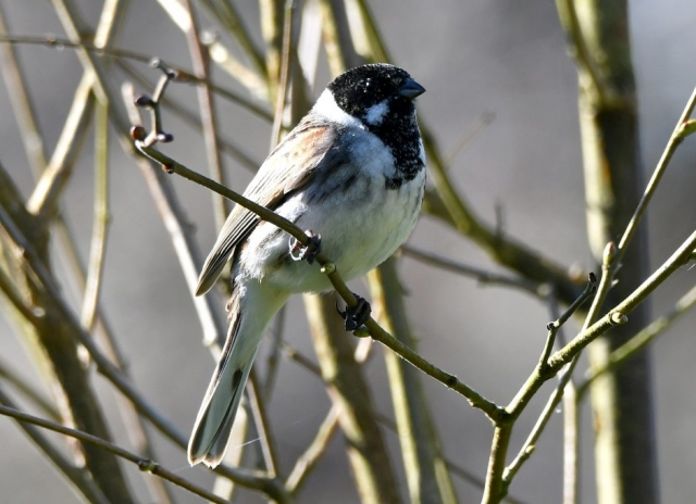 Reed Bunting by Dave Levy - Mar 16th, Titchfield Haven
