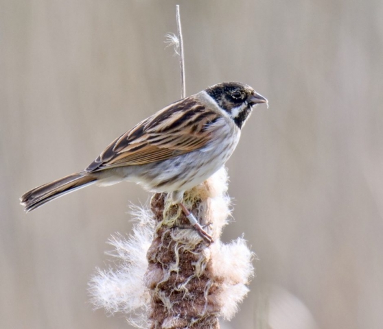 Reed Bunting by Rob Porter-March 9th, Fishlake Meadows