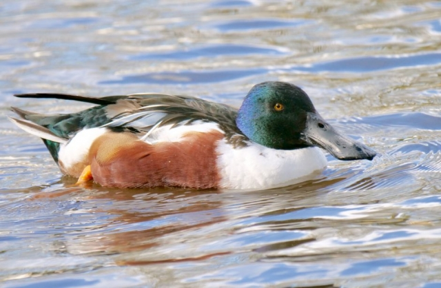 Shoveler by Rob Porter-Feb 26th, Southampton Common