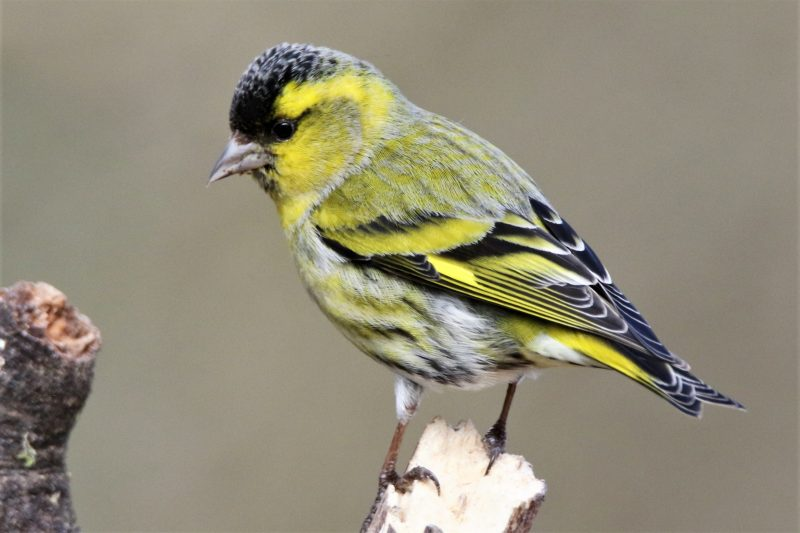 Siskin by Andy Tew - Mar 13th, Denny Wood NF