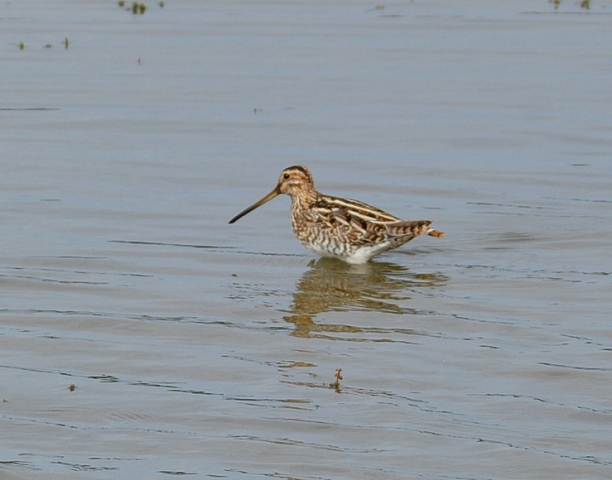 Snipe by Dave Levy - Feb 26th, The Vyne