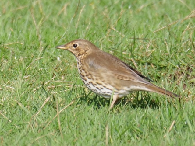 Song Thrush by Rob Porter-Feb 26th, Southampton Common