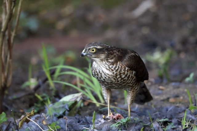 Sparrowhawk by Richard Jacobs - Feb 13th, Chandlers Ford