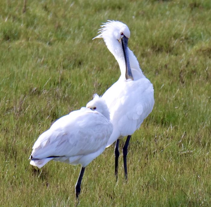Spoonbill by Rob Porter-March 2nd, Oxey Marsh