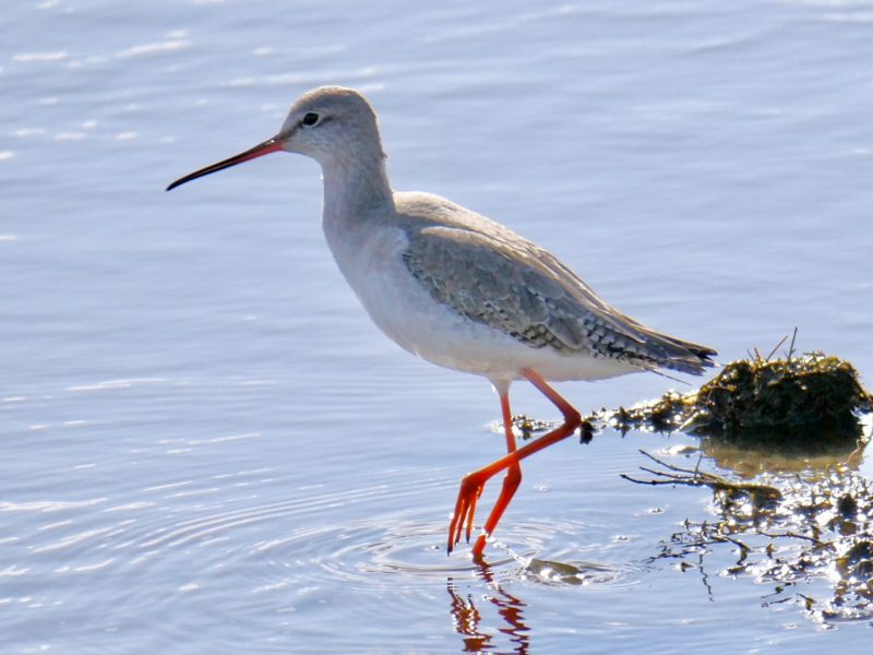 Spotted Redshank by Rob Porter-March 2nd, Oxey Marsh