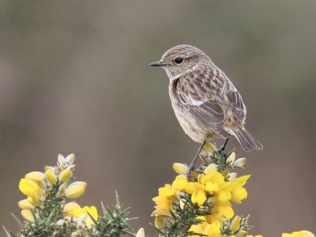 Stonechat by Rob Porter-Mar 13th, Oxey Marsh