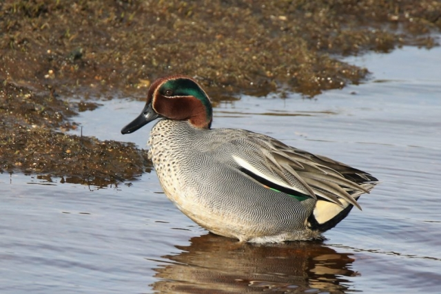 Teal by Andy Tew - Mar 3rd, Pennington Marshes