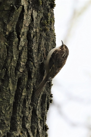 Treecreeper by Brian Cartwright - Mar 18th, Anton Lakes