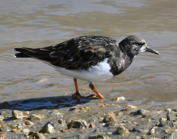 Turnstone by Dave Levy - Mar 16th, Titchfield Haven
