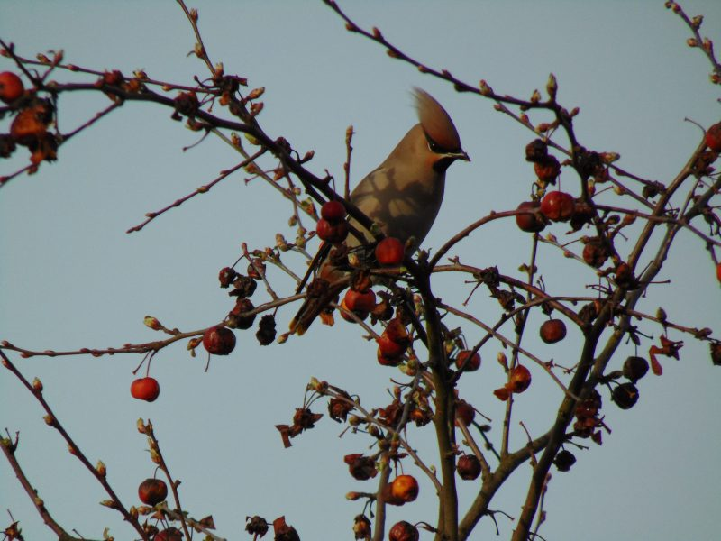 Waxwing by Rachel H - Mar 3rd, Wickham